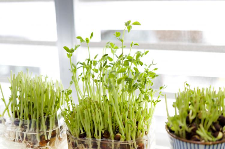豆苗 再生栽培