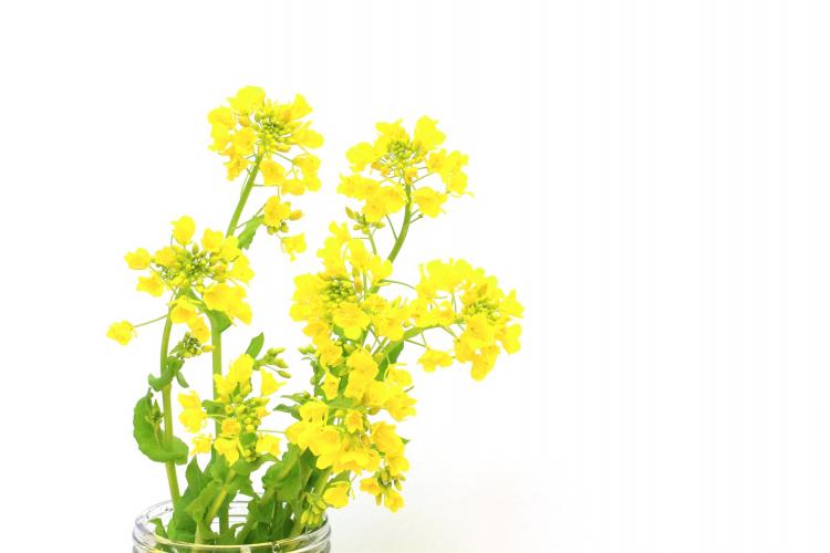菜の花 観賞用 食用