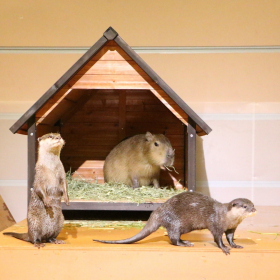 もぐもぐタイムも!「カワウソとカピバラ」同居の遊び場が八景島シーパラに新登場