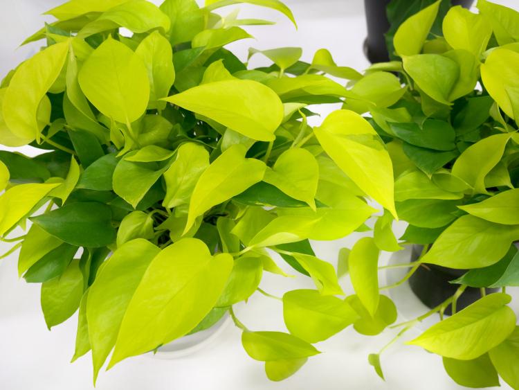 おうちに緑が欲しい!2位はポトス、1位は?人気の「観葉植物」ランキング