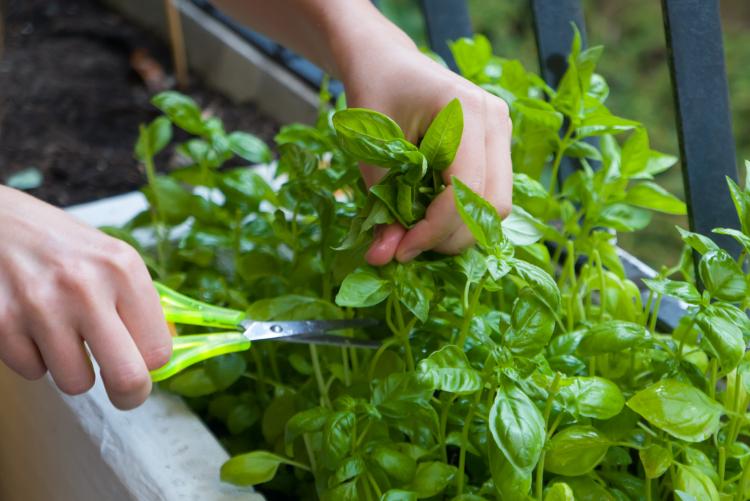 大葉にバジル…どう料理する?「家庭菜園」で収穫した野菜&ハーブの活用法を聞きました