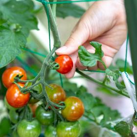 家庭菜園の経験者に聞く「育てやすい野菜&ハーブ」ランキング…初心者でも失敗しない1位は?