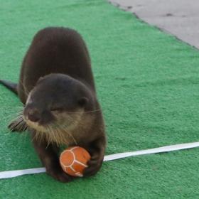 あの動物がラグビー選手に!? 八景島シーパラダイスで「コツメカワウソのラグビー大会」開催中