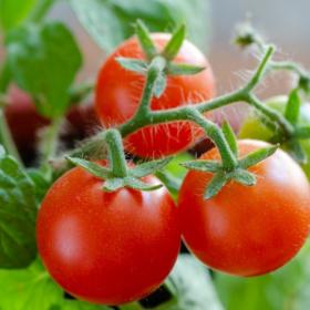 「ベランダ菜園」人気の野菜・ハーブTOP10!2位大葉、育てやすく節約にもなる1位の野菜は?