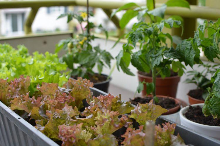 ベランダ菜園にハマった人続出!「人気の野菜・ハーブTOP6」収穫の成果は?