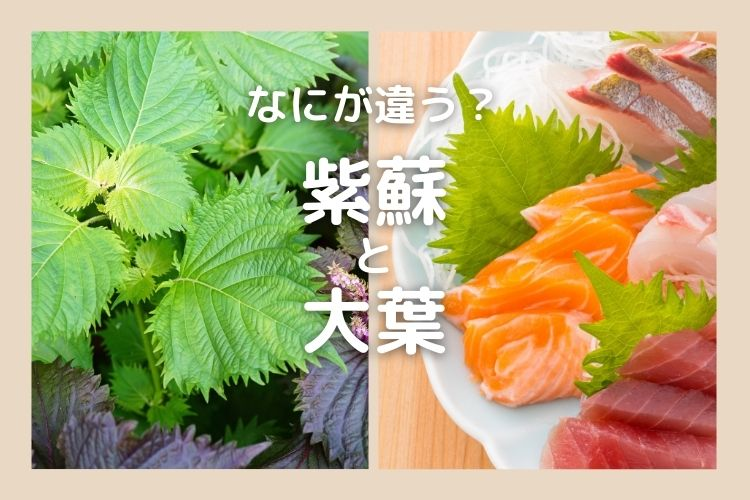 「紫蘇」と「大葉」なにが違う?知ればたくさんの学びが…【食べ物の違い豆知識】