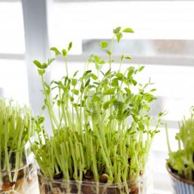 豆苗、ネギ…4割の人が「リボべジ」を育てた経験あり!人気の野菜と育ててみた感想も